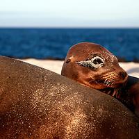 South America, Ecuador, Galapagos. Sea Lion with sandy eye on Mosquera Island.