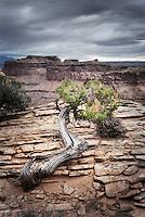 Juniper tree (Juniperus osteosperma) on canyon rim, Canyonlands National Park Utah USA