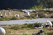 Laysan albatross, Phoebastria immutabilis, coming in for a landing over old airport runway at the breeding colony on Sand Island, Midway Atoll, Midway National Wildlife Refuge, Papahanaumokuakea Marine National Monument, Northwest Hawaiian Islands, USA ( North Pacific Ocean )