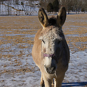 Donkey poses for the camera in a field on a winter day in Loudoun County, Virginia