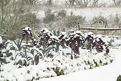 Kale on the vegetable bank in winter
