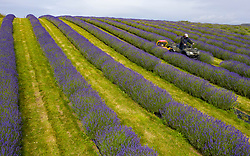 Perth & Kinross, Scotland, UK. 17 July, 2020. Aerial images of rows of lavender growing at Tarhill Farm near Kinross. The farm is home to the Scottish Lavender Oil company. Pictured; lavender farmer Michael Irwin cuts grass between rows of Folgate lavender. Iain Masterton/Alamy Live News