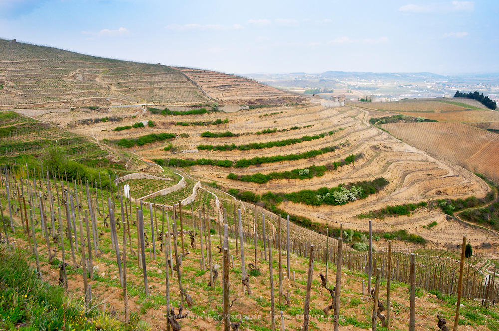 The graphic curved terraces in the Chapelle vineyard. The Hermitage vineyards on the hill behind the city Tain-l'Hermitage, on the steep sloping hill, stone terraced. Sometimes spelled Ermitage. Vineyards; Chapelle in front, Chante Alouette and Le Meal in the background Tain l'Hermitage, Drome, Drôme, France, Europe