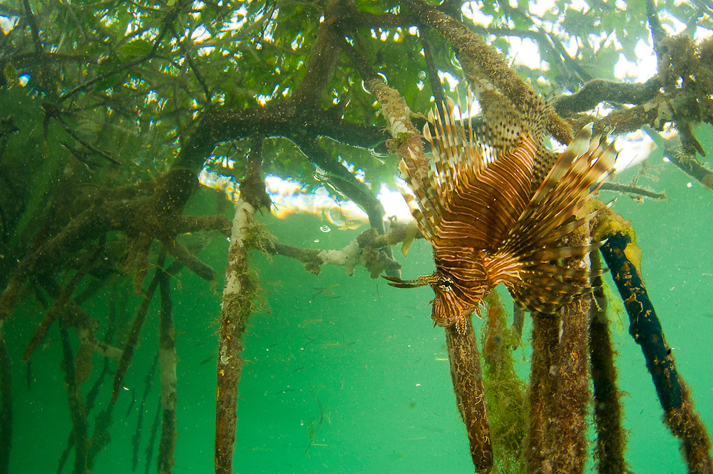 Volitans Lionfish (Pterois volitans) in the mangroves of Southwest Caye in Belize. The lionfish is an invasive species that has rapidly populated the Atlantic and Carribbean basin and threatens native fish species. It is an extremely hardy, venomous and voracious fish species.