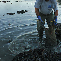 Washing the clams at the end of the day, at high tide.