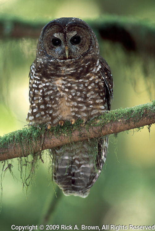 A Northern Spotted Owl (Strix occidentalis), Oregon