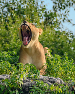 Lioness yawning, laying on rocky rim of river channel of the Chobe River, Chobe National Park, Botswana. © David A. Ponton