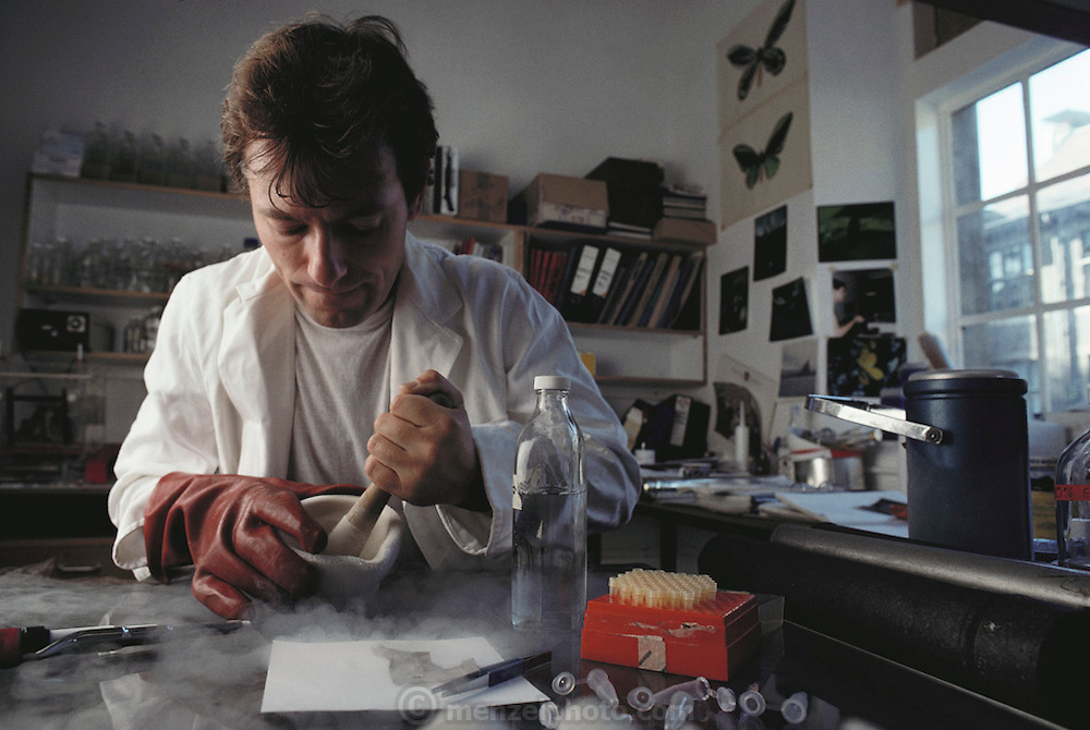 (1992) At Cambridge University, Bill Amos prepares sloughed sperm whale skin collected off of the Azores Islands in England. The skin is then DNA analyzed to study relationships among the whale population. DNA consists of two sugar- phosphate backbones, arranged in a double helix, linked by nucleotide bases. There are 4 types of base; adenine (A), cytosine (C), guanine (G) and thymine (T). Sequences of these bases make up genes, which encode an organism's genetic information. DNA Fingerprinting. MODEL RELEASED