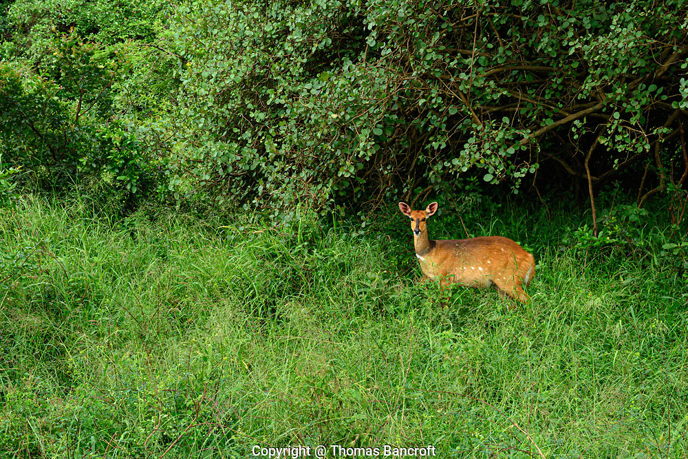 Bushbucks are solitary and like woodland areas in Nairobi National Park and elsewhere in Kenya.