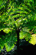 Tree fern<br />