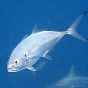 Blue Runner inhabit open water in Tropical West Atlantic; picture taken Grand Cayman.