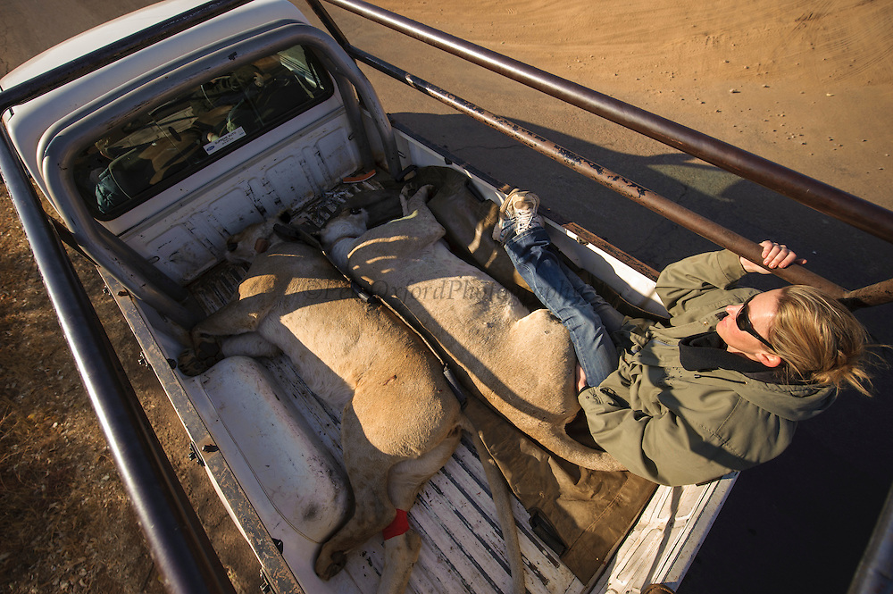 Lionesses darted for relocation to Malawi (Panthera leo) loaded onto truck for transportation to airfield<br /> Pilansberg Game Reserve<br /> North West Province<br /> SOUTH AFRICA