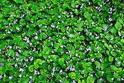 violets in Killaly Meadows<br /> London<br /> Ontario<br /> Canada