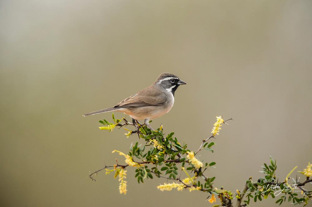 Black-throated sparrow (Amphispiza bilineata), Santa Clara Ranch, Starr County, Texas, USA
