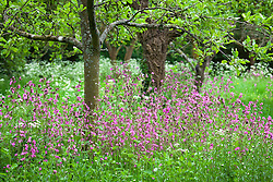 The Orchard at Hidcote Manor Garden. Red Campion. Silene dioica