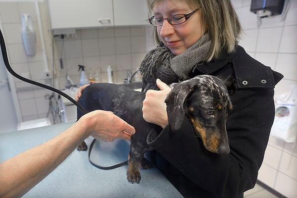 Nederland, Bemmel, 15-1-2013Onze jonge hond wordt door de dierenarts onderzocht alvorens zij gesteri;iseerd gaat worden.. Foto: Flip Franssen/Hollandse Hoogte