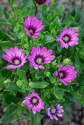 Osteospermum 'Special Erato Purple Stripes' - - African daisy