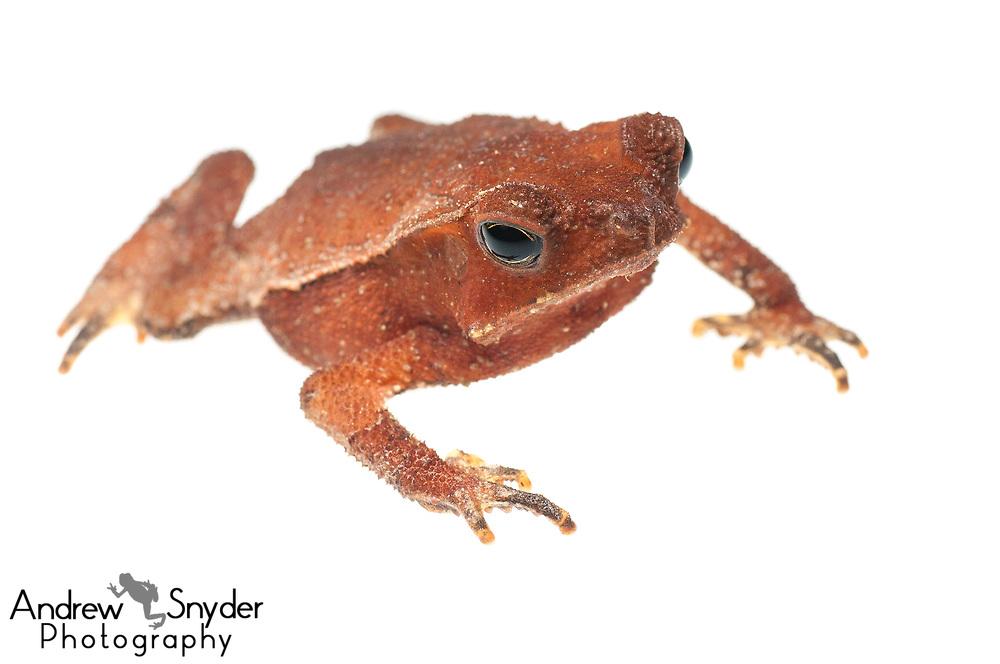 Crested toad, Rhinella martyi, Kanuku Mountains, Guyana, July 2013