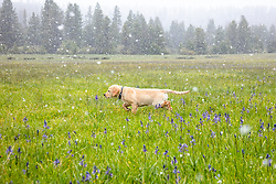 """""""Puppy in Snowy Sagehen Meadows 3"""" - Photograph of a Golden Retriever puppy """"Quill"""" playing in the snow and Camas wildflowers at Sagehen Meadows, a little north of Truckee, California."""