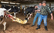 Farmers help a cow that was having trouble giving birth by pulling the calf out of the cow.