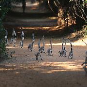 Ring-tailed Lemur (Lemur catta) group walking down a trail. Madagascar