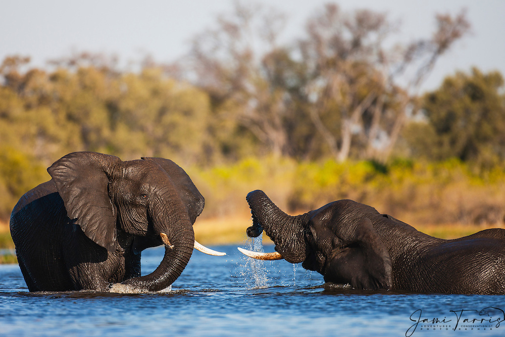 Young African elephant bulls (Loxodonta africana) swimming and playing together in the river , Khwai River, Botswana,Africa