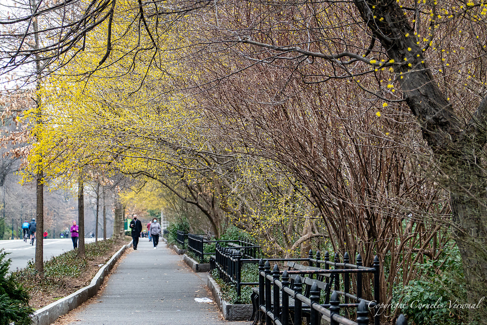 A walk under the first spring blossoms (prob. common spicebush) along the east drive in Central Park