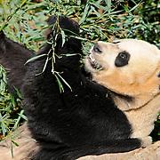 Panda at the Smithsonian Institution's National Zoo, Washington DC