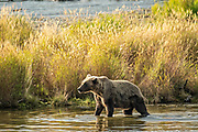 A Brown Bear sow walks along the banks of the lower Brooks River in Katmai National Park and Preserve September 16, 2019 near King Salmon, Alaska. The park spans the worlds largest salmon run with nearly 62 million salmon migrating through the streams which feeds some of the largest bears in the world.