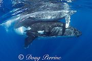 humpback whale mother and calf, Megaptera novaeangliae, Vava'u, Kingdom of Tonga, South Pacific; mother lifts calf up to surface to breathe