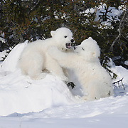 Polar Bear (Ursus maritimus) cubs recently out of the den. Western Hudson Bay population of Manitoba, Canada