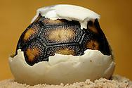 """Red-footed tortoise, Geochelone carbonaria, part of the turtle shell in the broken egg visible. A nest has 4-8 hard-shelled eggs. The young animals hatching in circa 100-150 days after egg deposition. The eggs lay and bury in sand or earth. The development time depends on temperature and humidity. Distribution: South America. This picture is part of the series """"Escape into life""""..Köhlerschildkröte, Geochelone carbonaria, Panzerausschnitt der Schildkröte im aufgebrochenen Ei. Ein Gelege besteht aus 4-8 hartschaligen Eiern. Die Jungtiere schlüpfen ca. 100-150 Tage nach der Eiablage. Die Eier werden in Sand oder Erdboden gelegt und dann vergraben. Die Entwicklungsdauer hängt von Temperatur und Luftfeuchtigkeit ab. Verbreitung: Südamerika. Diese Bild ist Teil der Serie ,,Ausbruch ins Leben""""."""