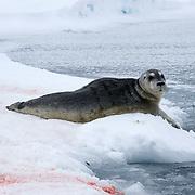 Bearded Seal (Erignathus barbatus) a new born pup on the edge of an open water lead on the Beaufort Sea, Alaska.