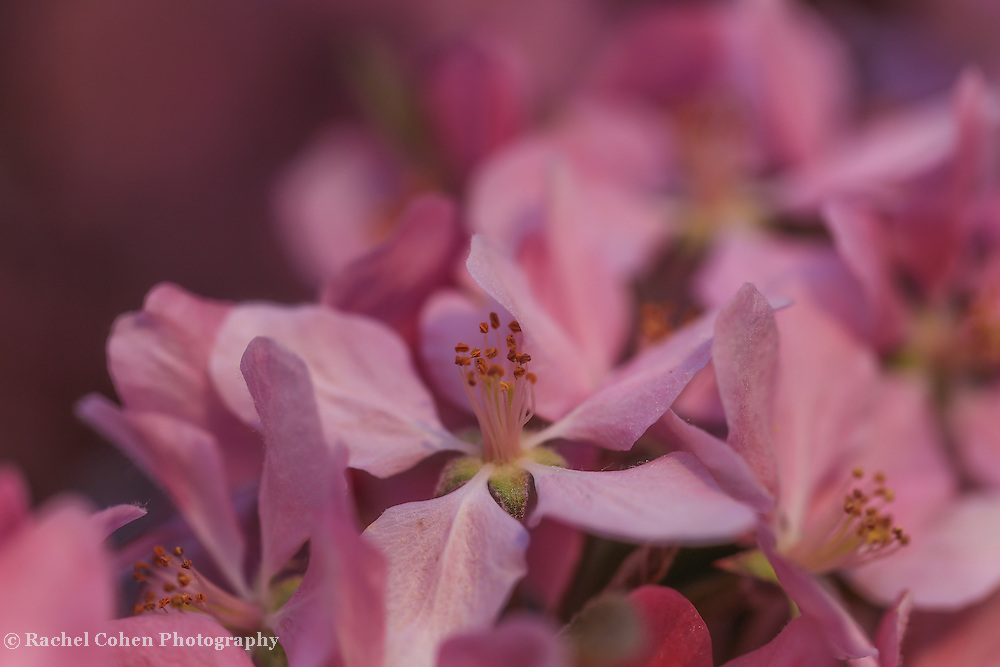 """""""Of Immense Delight""""<br /> <br /> A wonderful macro of pink tree blossoms."""