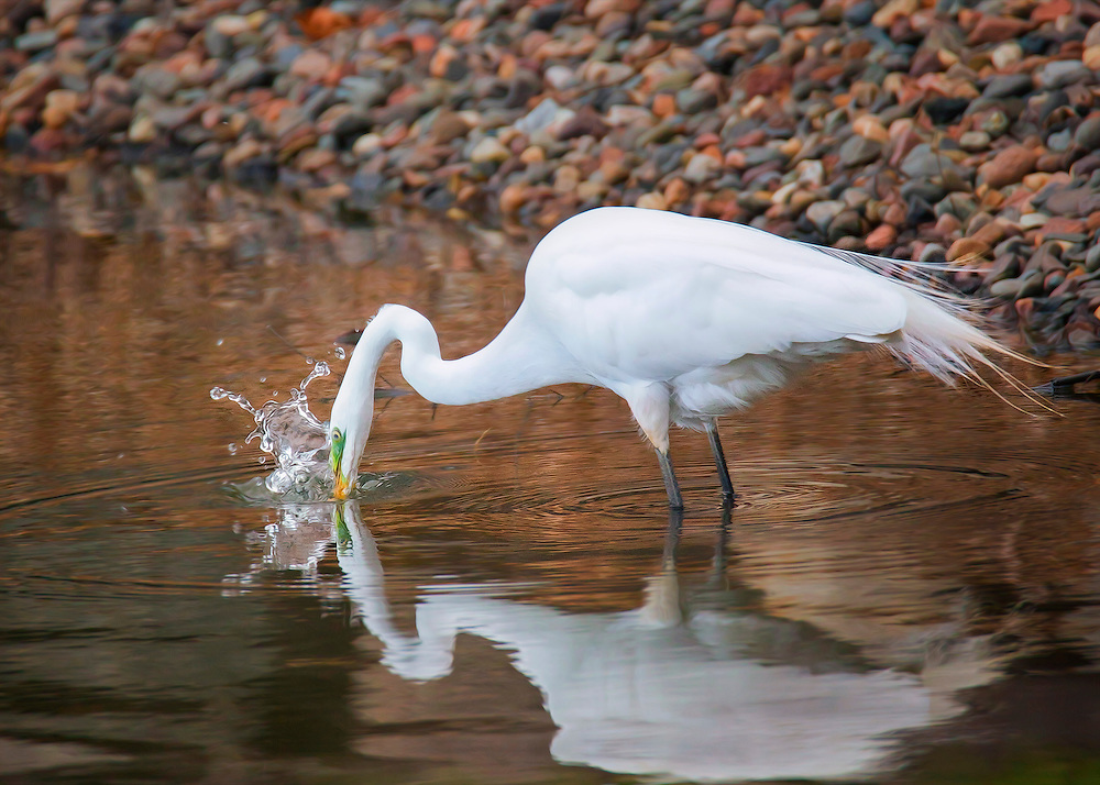 A White Egret Splashes In The Water Looking For Fish