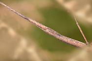 Laboratory Stick-insect - Carausius morosus