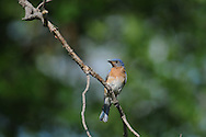 Male eastern bluebird looking around while perched on a tree branch in upstate NY.