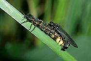 Glow-worm - Lampyris noctiluca mating