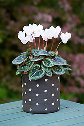 Cyclamen hederifolium in black and white spotty container. Hardy cyclamen