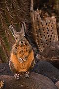 Viscacha<br />Lagidium viscacia<br />Ikawasi Island on Salar de Uyuni Salt Pans.  BOLIVIA  South America.<br />RANGE: High Andes of Peru, Bolivia and Chile