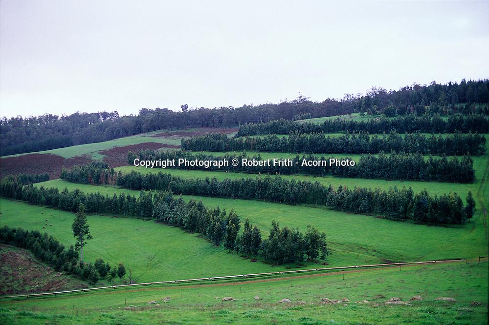 Blue gum agroforestry plantation