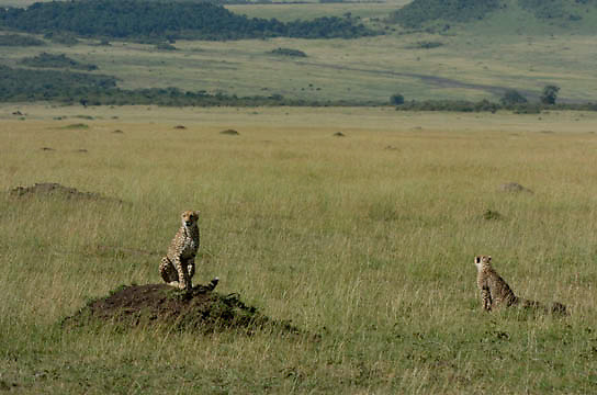 Cheetah (Acinonyx jubatus) Mother with young cub searching for prey. Masai Mara National Park. Kenya. Africa.