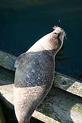 Harbor Seal (Phoca vitulina) along the Maine coast, hanging out under the Ogunquit draw bridge...
