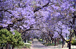 South Africa - Pretoria - 23 October 2020 - From late Septembner to middle of November, Jacaranda trees bloom all over Pretoria and turn the city purple.<br /> <br /> Picture: Thobile Mathonsi/African News Agency(ANA)