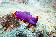 Polyclad Flatworm nudibranch (Pseudoceros ferrugineus) on Agincourt Reef, Great Barrier Reef, Queensland, Australia. <br />