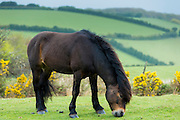 Male wild Exmoor pony, Equus caballus, grazing on moorland in Exmoor National Park, Somerset, United Kingdom