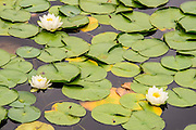 Water lilies bloom in the shallow waters along the edge of Seward Park.