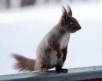 Red squirrel or Eurasian red squirrel - Ekorn ....The red squirrel has a typical head-and-body length of 19 to 23 cm, a tail length of 15 to 20 cm and a mass of 250 to 340 g. Common in Norway