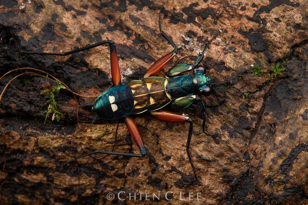 Iridescent Bark Mantis (Metallyticus splendidus), juvenile. Danum Valley Conservation Area, Sabah, Malaysia (Borneo).