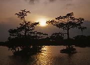 Sun setting through Bald Cypress, Taxodium distichum, Atchafalaya Basin, Louisiana.